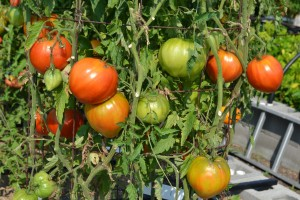 Uncle Paul's Gardens has over 100 varieties of heirloom tomatoes and they add more every year. Many will be available for sampling during the Heirloom Tomato Festival on Saturday.