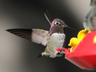 backyard hummingbirds 1