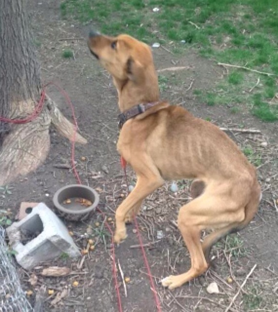 Neighbors say this boxer-mix dog is being starved to death. The dog's owner denies the claim. (Photo provided)