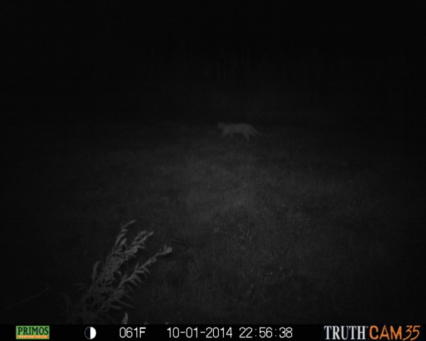 This photo was taken by Cody Lewis, 50, of Columbia City, trail camera on the night of Wednesday, Oct. 1. Lewis believes the photo shows a possible mountain lion lurking in the shadows. (Photo provided by Diane and Cody Lewis)