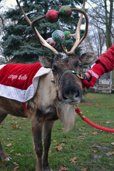 A live reindeer, Jingle Bell, was at the park for children to pet and get photographed with.
