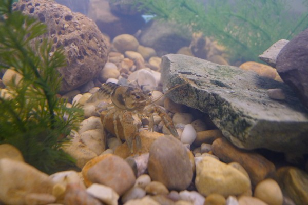 Local Crayfish are an example of the species provided for the classroom aquariums. (Photo Provided)