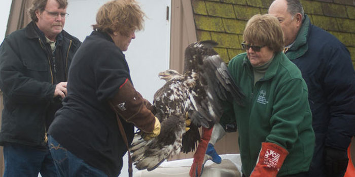 eagles-returned-to-the-wild-in-michigan