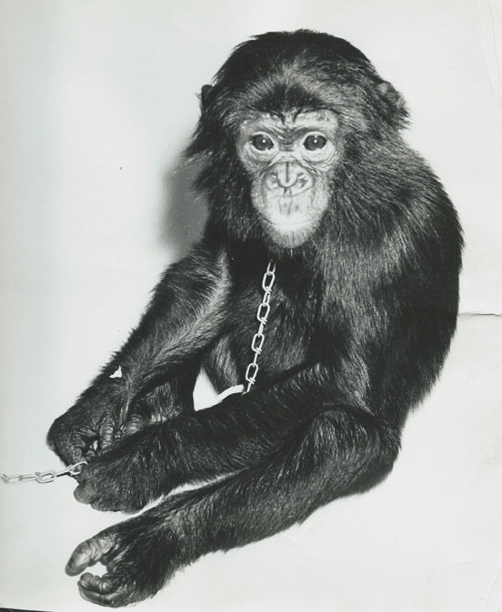 Amos the Bonobo Chimpanzee was the most famous zoo resident in the