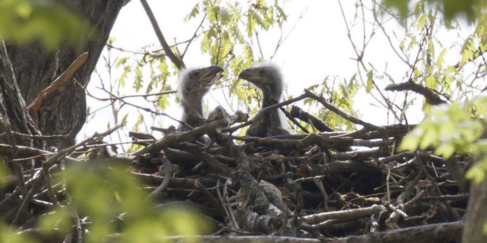 baby eagles at Potato Creek