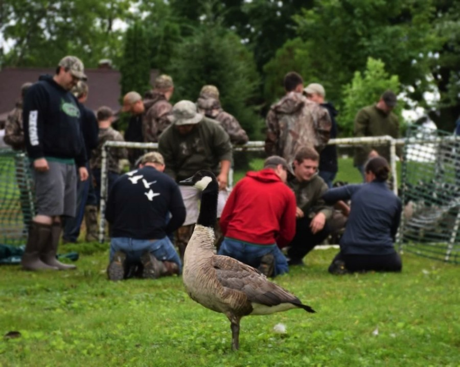 Members of the Wawasee DU chapter help to band geese.