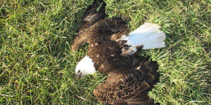 One of 13 bald eagles found dead last month in Maryland.