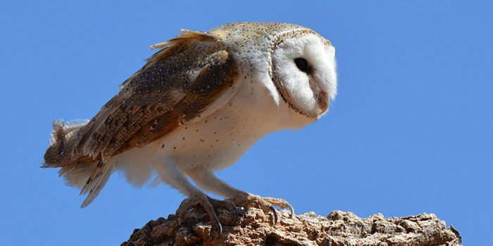 Barn Owl Pair Lays Second Clutch Of Eggs In 2017 ...